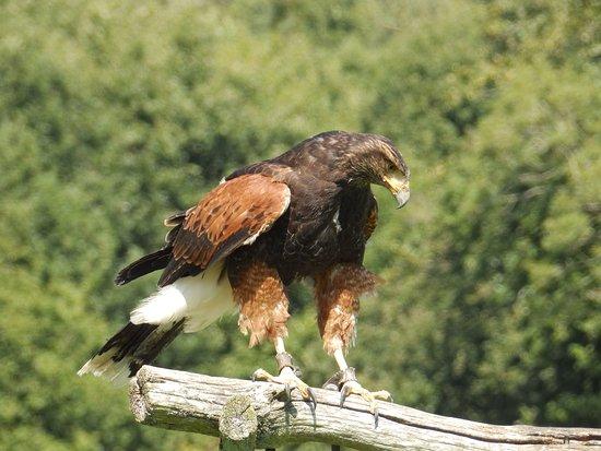 Groombridge, UK: Harris hawk