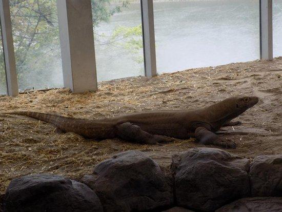 Virginia Aquarium & Marine Science Center: Komodo dragon