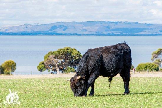 Phillip Island, Australia: Cow