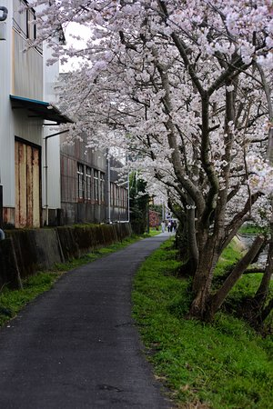 Makinohara, Japan: 勝間田川:さくら並木