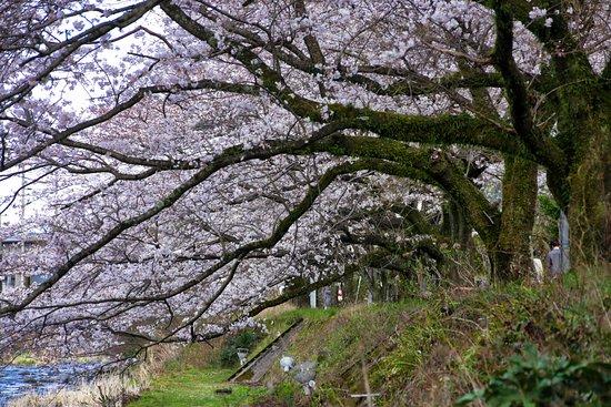 千歳川桜並木