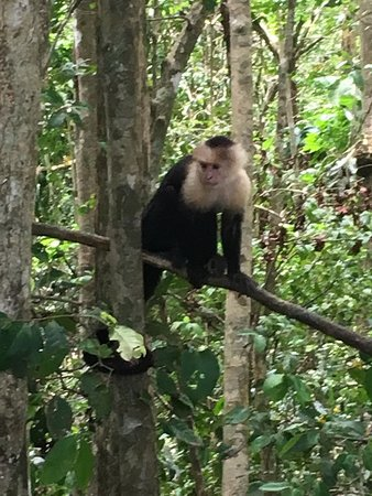 Santa Barbara, Costa Rica: White faced capuchin
