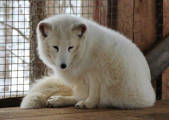 Arctic fox - Picture of Wild Spirit Park, Ivalo - TripAdvisor