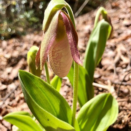 Gorges State Park: Lady Slipper on Bearwallow Trail