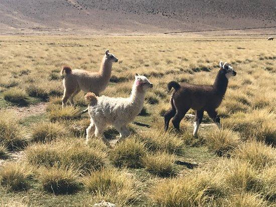 Tupiza Tours: Walking with llamas in open fields