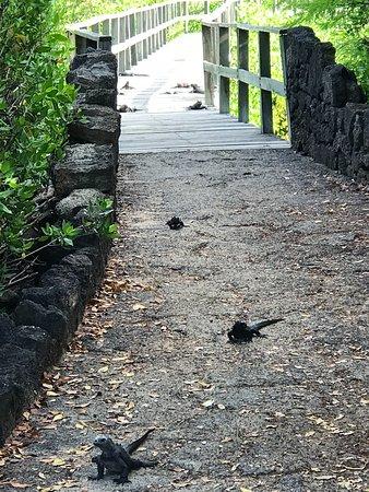 Iguana Crossing: Iguanas beginning their journey