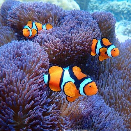 East New Britain, بابوا غينيا الجديدة: Anemone Fish
