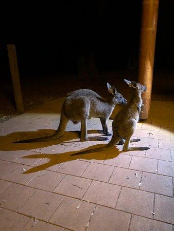 Wilpena, أستراليا: Locals trying to scrounge