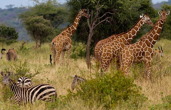 Nairobi Region, Kenya: girraffe and zebras grazing