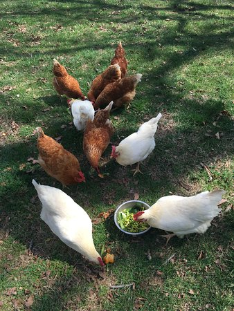 Wirtz, Wirginia: The chickens love the leftover veggies and fruit!