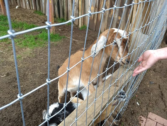 Tiger, GA: Sweet baby goats eating right out of your hand.