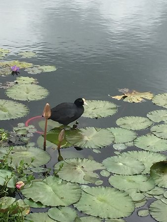 Makani Golf Club: My cheering section...the coot