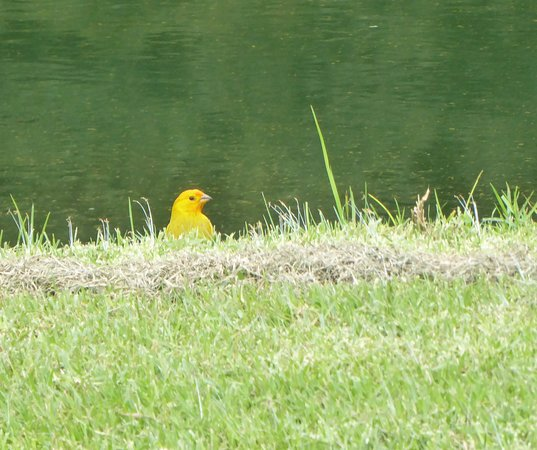Makani Golf Club: Saffron finches were all over the course