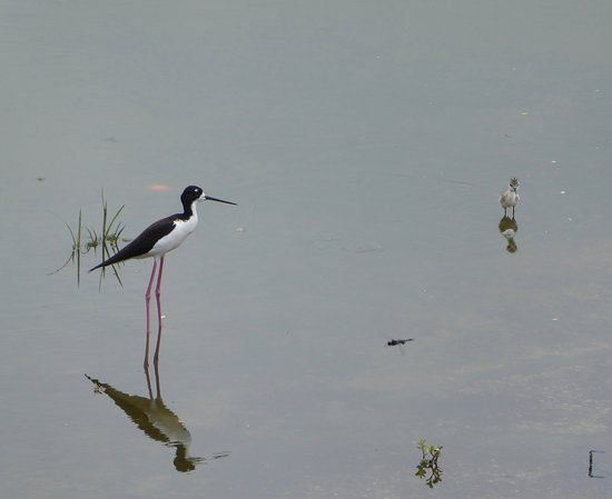 Makani Golf Club: One of the stilt parents watching over its young