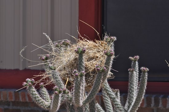 Rodeo, NM: A cactus wren constructed her disheveled nest in front of the museum.