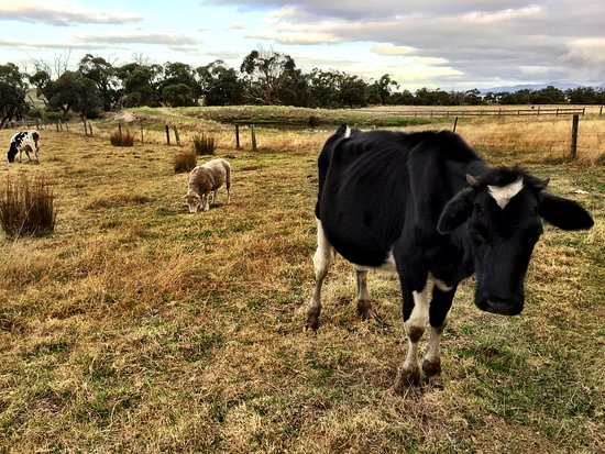 Waratah North, Australia: The gorgeous cows and sheep