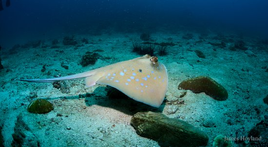 Blue Planet Divers: Blue Spot sting ray