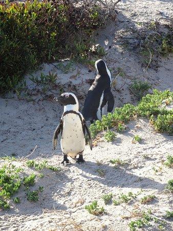 Glencairn, África do Sul: pingouins à proximité de l'hotel
