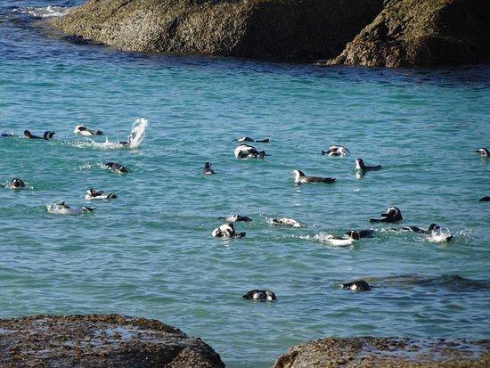 Glencairn, África do Sul: pingouins