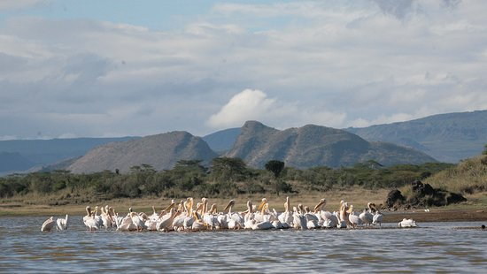 Soysambu Conservancy: Lake Elmenteita Is the only breeding ground in East Africa for the Great White Pelican