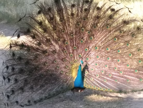 Filerimos, กรีซ: A peacock attracting attention!