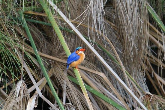 Mbarara, Ουγκάντα: Malachite Kingfisher