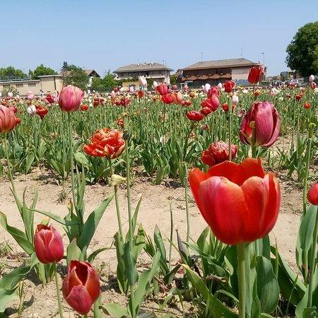 Tulipani italiani cornaredo aggiornato 2018 tutto for Tulipani italiani