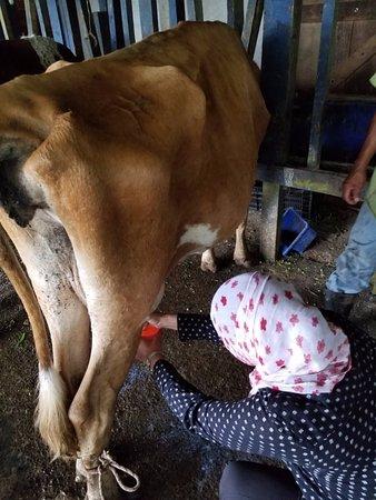 Провинция Лимон, Коста-Рика: se puede ordeñar las vacas en la mañana con Esteban y hacer queso de la leche