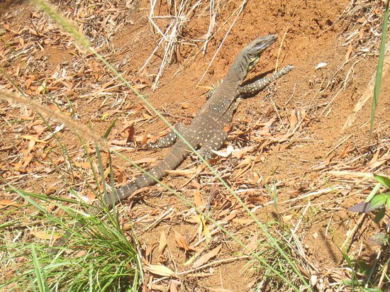 Moreton Bay Region, Australia: Resident goanna sun bathing on a cool morning