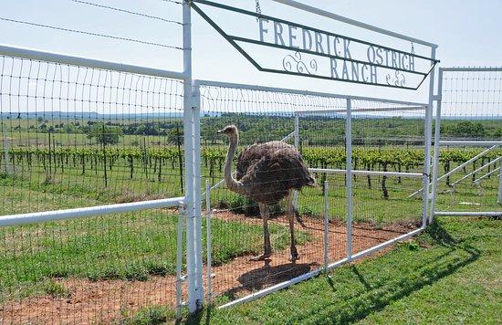 Saint Jo, TX: Blue Ostrich Winery