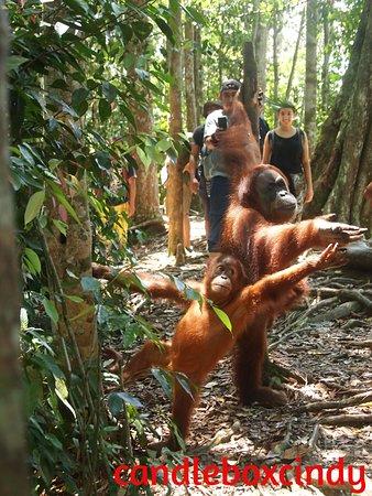 Bukit Lawang Guide: Mina and her offspring