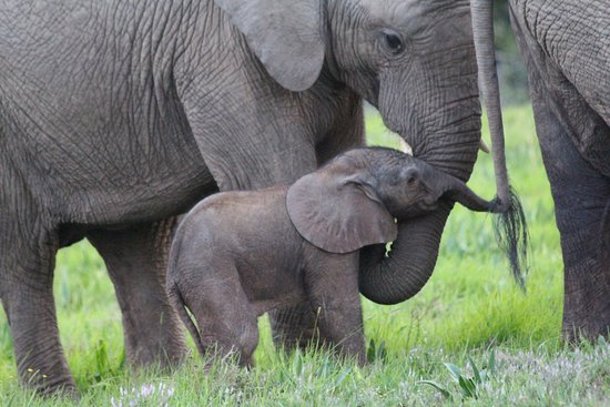 Amakhala Game Reserve, South Africa: So lucky to see this herd of elephants with a newborn