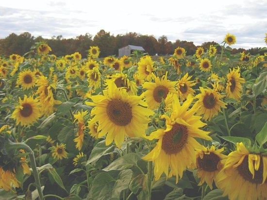 Swanton, VT: Sunflowers