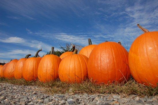 Swanton, VT: Pumpkins