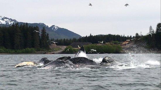Hoonah, Аляска: Humpback Whales bubble feeding