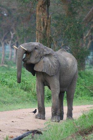 Mukono, Uganda: elephant