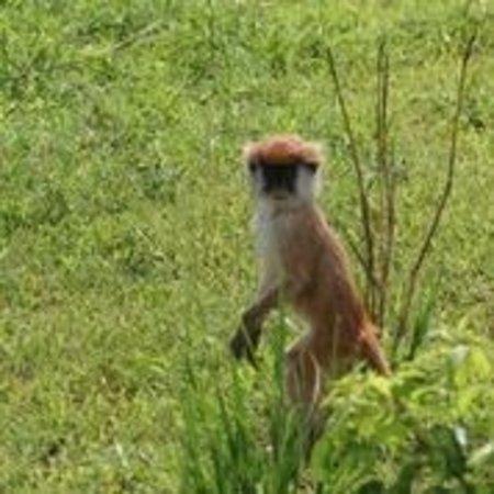 Mukono, أوغندا: monkey
