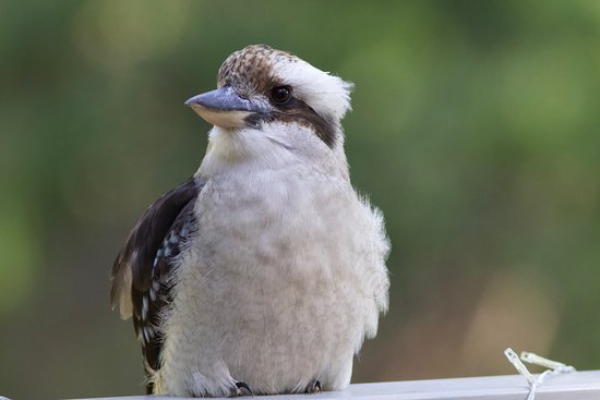 Gipsy Point, Australia: Kookaburra on the patio
