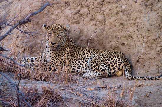 Timbavati Private Nature Reserve, Sudáfrica: Another leopard waiting for a warthog to emerge!