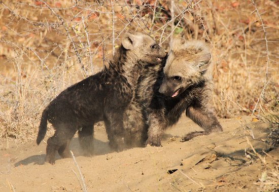 Timbavati Private Nature Reserve, Sudáfrica: Young hyena cubs enjoyed play-fighting with each other