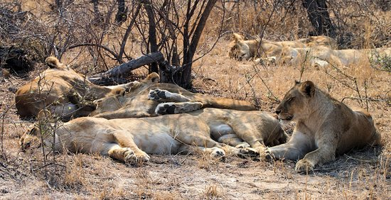 Timbavati Private Nature Reserve, Sudáfrica: A pride of 9 lions seeking some shade from the sun