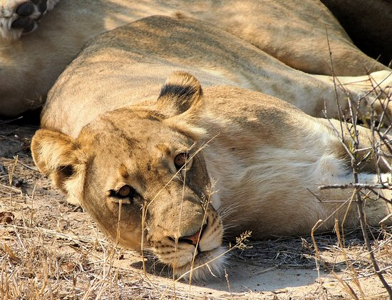 Timbavati Private Nature Reserve, Sudáfrica: Couldn't even be bothered to pose for a photo!