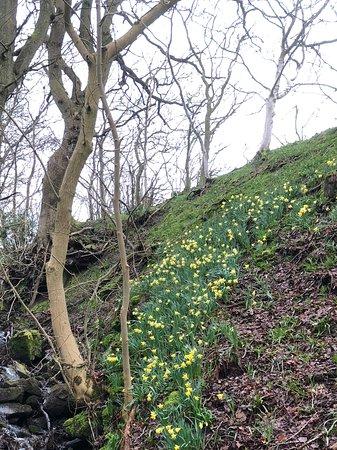 High Bentham, UK: Daffodils