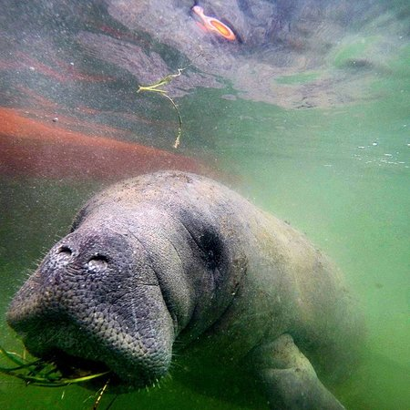Marathon, FL: Hungry Manatee taking a lunch break with us.
