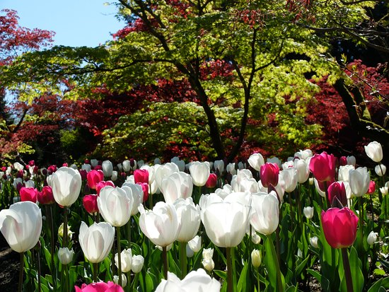 Vancouver, Canadá: Tulips and maples. Photo credit: Jennifer Cooper