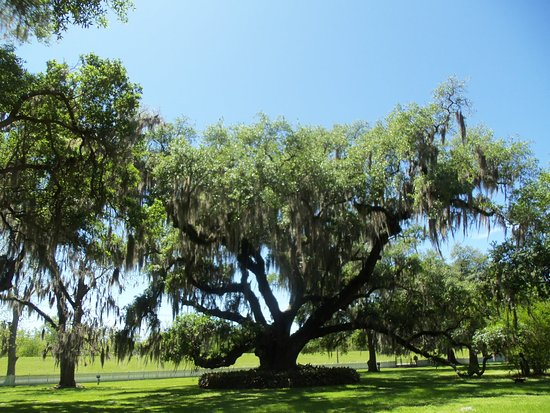 Destrehan Plantation: Spanish moss