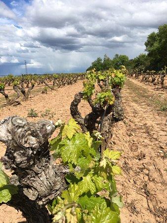 Marques de Murrieta : Las viñas empiezan a brotar