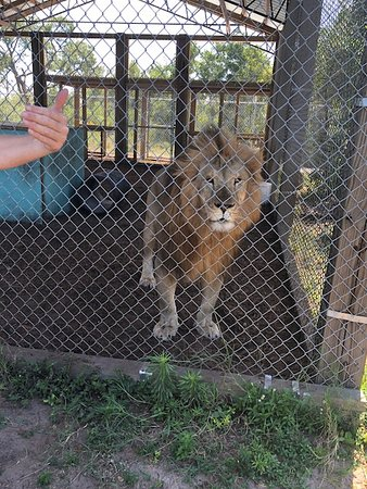 Saint Cloud, FL: The Lion King Live!! This guy is incredible, handsome and such a majestic animal.