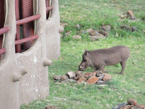 Mara Serena Safari Lodge: Pumba right in front of the balcony :-)