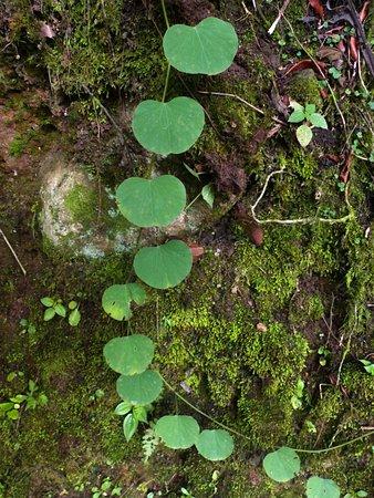 Chirripo National Park, Costa Rica: Klimmer (cf. Bauhinia)